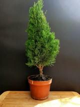 Cupressus Sempervirens Totem Bonsai - A special tree - $89.10