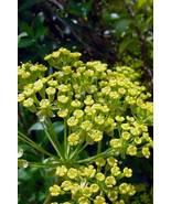 100 Seeds - Green Gold Bupleurum Hares Tail Thoro Wax #SFB15 - $17.99