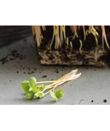 3 Variety Tasty Edible Vegetable Buckwheat Microgreens Fresh Seeds #TLM1 - $19.99+