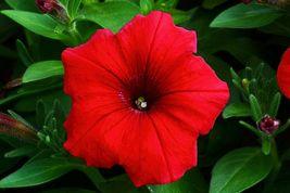 4 Variety Red Petunia Nana Compacta Flower Seeds #IMA40 - $47.99+