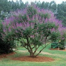50 Seeds of Chaste Tree Official / Vitex agnus-castus - $21.78