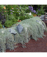 Heirloom Hanging Dichondra micrantha Bonsai, 100PCS, Beautiful Garden Fl... - $8.99