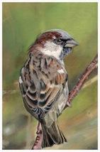Sparrow - A4 print of original colour pencil artwork  + matt and mount - $40.00