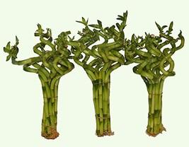 30 Stalks of Lucky Bamboo Spirals Beautiful fo Good Feng Shui - $106.92