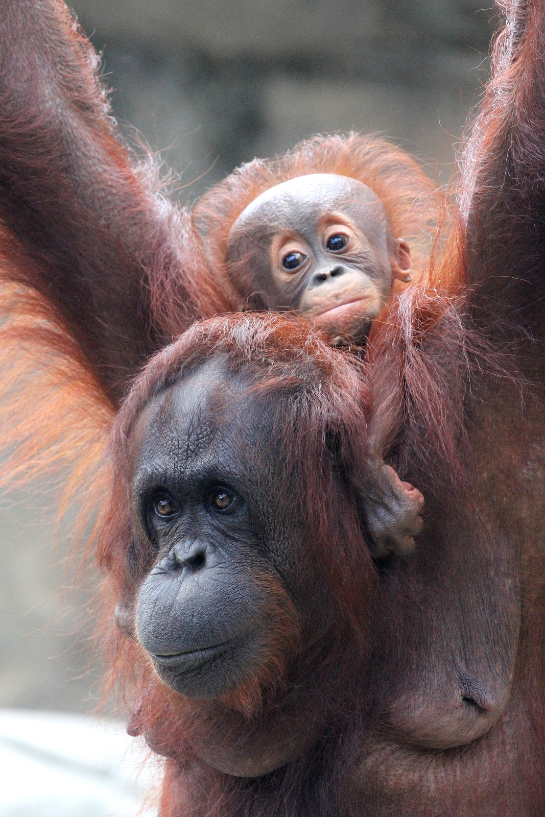 Primary image for Orangutan and Baby 13 x 19 Unmatted Photograph