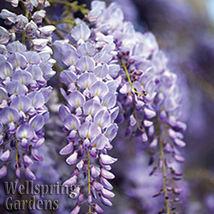 Wisteria Vine Wisteria frutescens 'Amethyst Falls' Flowering Live Plant ... - $36.63