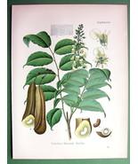 BALSAM OF PERU Toluifera pereirae Medicinal Plant - COLOR Botanical Print - $26.01