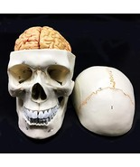Human Skull with Brain Anatomical Model 8-Part Life-Size Anatomy for Sci... - $81.49