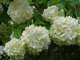 Old Fashion Snowball Viburnum (Viburnum opulus roseum) - $4.99