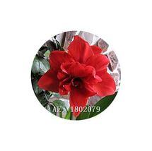 HAPPY FLOWER 2 Bulbs TUNGGULWULUN True Hippeastrum Rutilum Amaryllis Lov... - $1.79