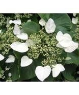 "4"" Pot - RARE Moonlight Hydrangea Vine Plant - Shade - Gardening tkhit - $59.00"