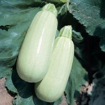 Squash Barq Takes 50 Days F1 25 Seeds #MBG02 - $20.17