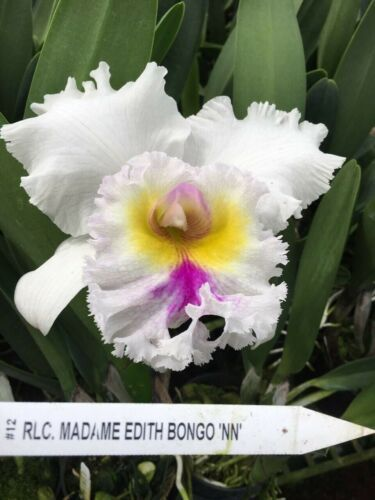 Rlc. Madame Edith Bongo CATTLEYA Orchid Plant Pot BLOOMING SIZE 0504 N