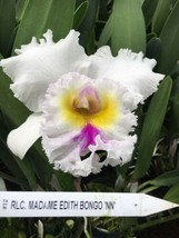 Rlc. Madame Edith Bongo CATTLEYA Orchid Plant Pot BLOOMING SIZE 0504 N image 1