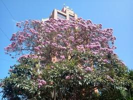 Tabebuia rosea  Rosy Trumpet Tree 10 seeds - $8.13