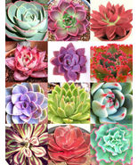 SHIPPED From US_MIX COLOR ECHEVERIA-20 seeds succulent HEN & CHICKS flow... - $46.99