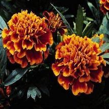 Marigold Champion Flame Flower Seeds (Tagetes Patula) 50+Seeds - $4.49+