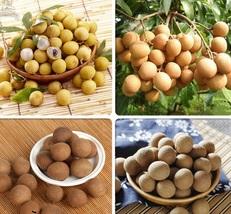 BEST PRICE 5 Seeds Guanzhou Longan Fruit,DIY Fruit Seeds TS124 DG - $6.00