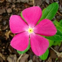Pink Vinca Seeds, Pink Periwinkle Seeds, Heirloom Non-Gmo 250 seed - $13.99