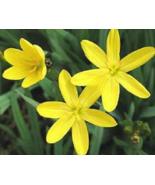 10 Pcs Seeds Sisyrinchium Californicum Eyed Grass Yellow Ornamental Flow... - $16.00