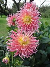 200 Pcs / Bag Dahlia Flower plants Mixed Colors (4), HZ Beautiful Flower... - $8.89
