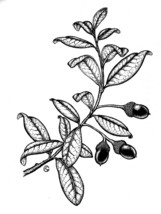 Live Oak   Signed Print of a Pen and Ink Botanical Illustration (Free Sh... - $14.92