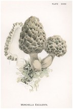 W. Hamilton Gibson: Morchella Esculenta - Harper Publishers - 1895 - $12.82+