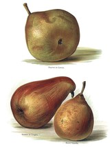 Vintage Fruit Prints: Doyenne Du Comice - Fruit Growers Guide - 1880 - $12.95+