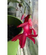 Cactus 'Schlumbergera'   Red Flowers   2 Succulent Plant Cuttings - $14.99