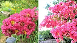 """SIOUX Pink Crape Myrtle Plant - Perennial - 1 Young Plant 6"""" to 8"""" Tall - $33.99"""