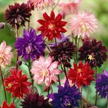 50 Double Barlow Mix Columbine Flower Perennial Seeds #STL17 - $15.17