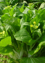 50pcs Very Delicious Edible Heirloom Chinese Cabbage Vegetable Seeds IMA1 - $13.99
