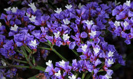 SHIPPED FROM US 100 Purple Statice / Sea Lavender Limonium Flower Seeds, SB01 - $19.00