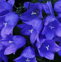 30 Purple Campanula Seeds Canterburybells Bellflower Garden Flowers - $13.58