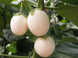 20 pcs Easter Egg plant White Patio Solanum oviferum Vegetable Seeds Ver... - $13.99