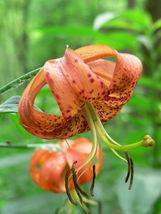 SHIP FROM US 20 Orange TURKS CAP Tiger LILY Lilium Superbum Flower Seeds... - $12.00