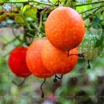 Heirloom Hanging Melon Organic Vegetable 8 seed natural fruit and vegetable seed - $13.05