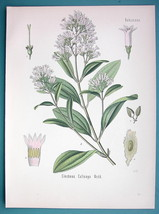 LEDGER QUININE Medicinal Cinchona Calisaya - Beautiful COLOR Botanical P... - $15.30