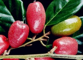 Super 50 Seeds A King Of Fruits Flesh Goat's Milk Fruit High Year Results - $1.99