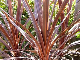 Hardy Live Red Cordyline 'Red Star' House Plants Starter Plant - $24.74