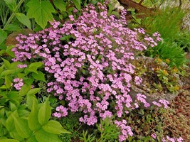 500+PINK ROCK SOAPWORT Seeds Perennial Groundcover Wildflower Trailing C... - $2.75