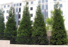 Green Giant Arborvitae 50 trees Thuja plicata 3 inch pot image 7