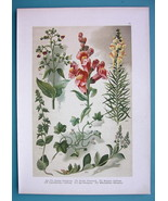BOTANICAL PRINT 1896 Color Litho - Snapdragon SPeedwell Toadflax Figwort - $16.83