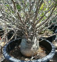 Fouquieria (Idria) columnaris Baja Boojum Tree Fat Trunk Succulent Plant... - $197.95