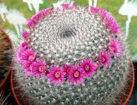 Mammillaria Hahniana Old Lady Cactus Exotic Rare Plant Seed -20 Seeds - $18.00
