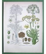 STINKING GUM Medicinal Plant Ferula Scorodosma  - COLOR Litho Botanical ... - $21.42