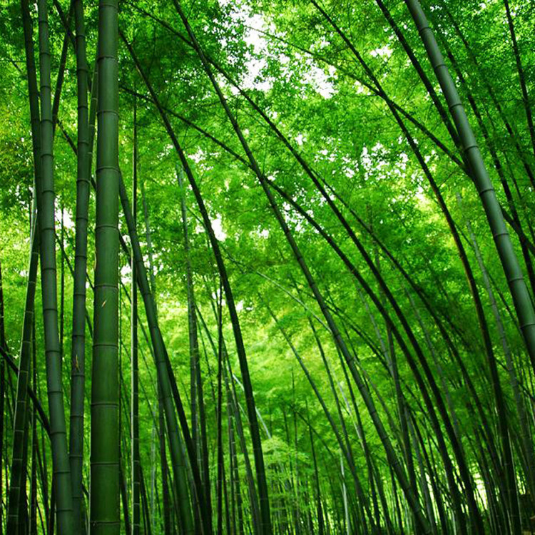 Fresh Moso Bamboo Seeds Phyllostachys Scens Giant Hardy Rare 60pcs 16 99