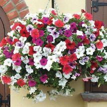 Trailing Petunia Mixed Colors Hybrida Pendula 25 Annual Seeds image 5