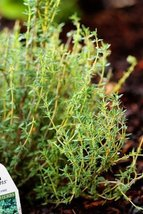 100 Seeds of Thyme French / Thymus vulgaris - $21.78