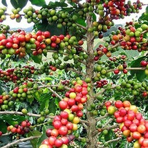 Arabica Coffee Bean Live Plant - Easy to grow growing House plant in a 3... - $12.80